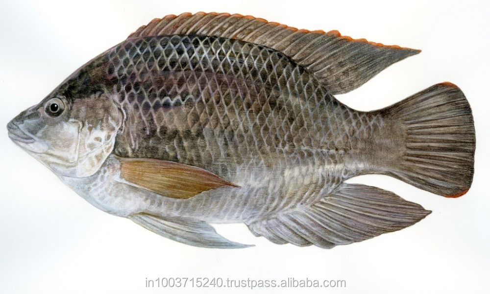 Rohu,Katla And Tilapia Whole