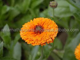 WHOLESALE CALENDULA OIL / CALENDULA OIL EXPORTER IN 2015
