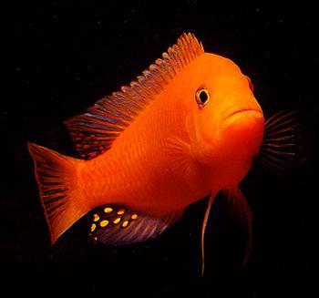 Top Quality Cichlids Fish Cichlids Fish For Sale All Over India Best Cichlids Aquarium Fish Buy Aquarium Fish Breeder Product On Alibaba Com