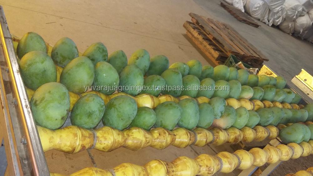 South Indian Fresh Badami Mango Wholesaler In India - Buy Banganapalli  Mangoes Eksporter Vid Makharashtra / Salem / Andkhra-pradesh,Maharashtra /
