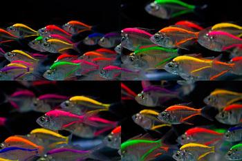 Glass Fish Mix Color For Sale To Aquarium Fish Importer