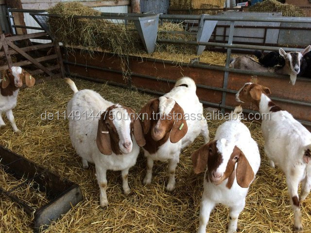 Full Blood Live Boer Goats for sale now