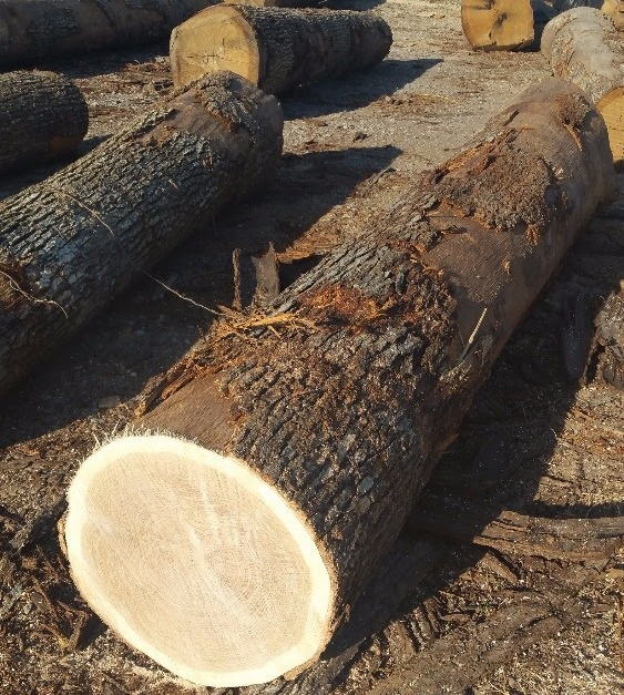 White Oak and Red Oak logs For Sale - Hardwood Lumber Supplier