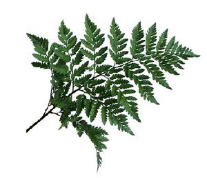 bcd96da3c62d Leather Leaf Fern, Leather Leaf Fern Suppliers and Manufacturers at  Alibaba.com