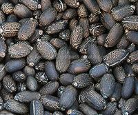 High Quality Jatropha Seeds For Sale.