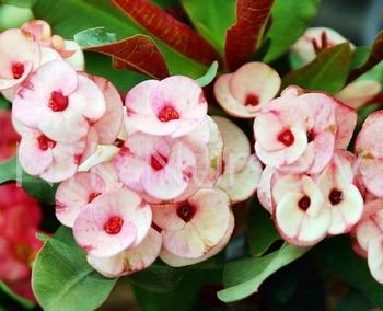 Plantas ornamentales y euphorbia milii planta choco hojas for Hojas ornamentales