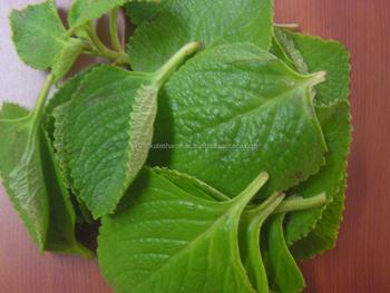 uses u0026 benefits oil of oregano carvacrol