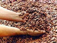 !! 100% cheap Dried raw Cocoa Beans for sale