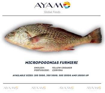 Whitemouth croaker yellow croaker corvina for What is a croaker fish