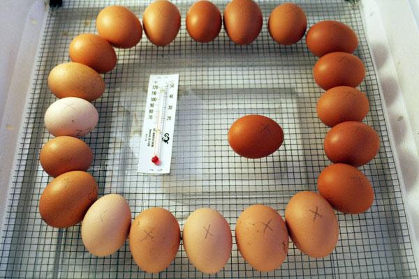 Broiler Chicken Hatching Eggs, Broiler Chicken Hatching Eggs ...