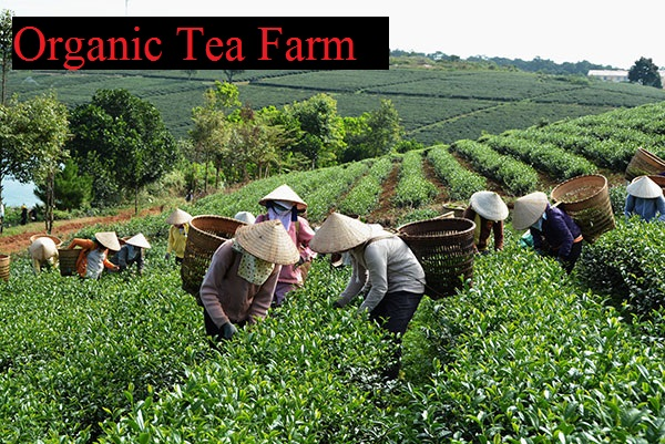 High Quality from Teaparis Vietnam Green Tea Super Pekoe