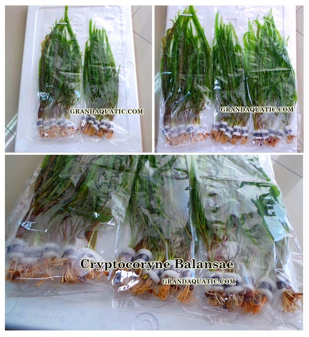 Cryptocoryne Balansae Live Aquatic Plants / Freshwater Plants Thailand - Buy Freshwater Aquarium ...