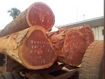 Ayous Logs Iroko African Hard Wood And Timber Buy Ayous