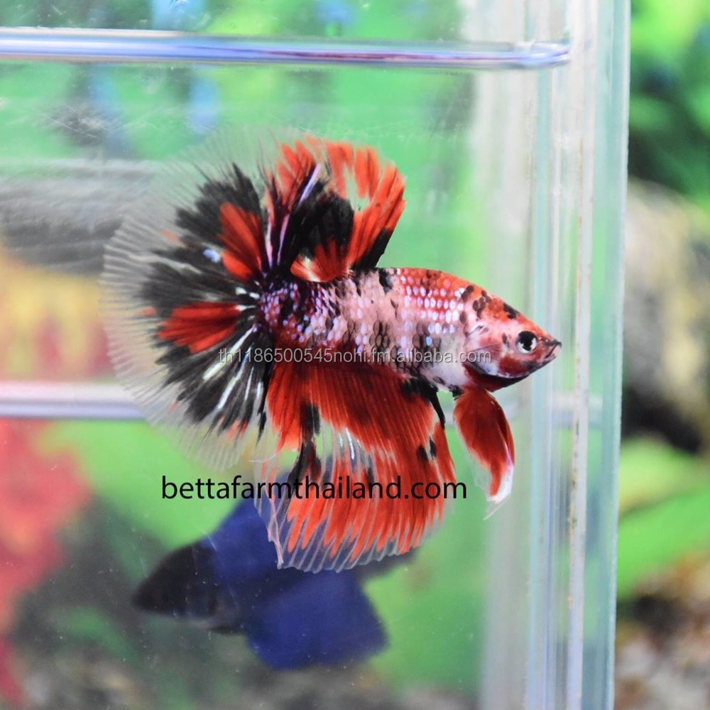 Thailand Bettas For Sale, Thailand Bettas For Sale Manufacturers and ...
