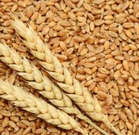 Soft wheat, Wheat, grains, barley, wheat flour, best quality, cheap, pure, natural, non GMO, organic