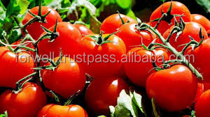 EGYPT tomato top quality competitive price/fresh