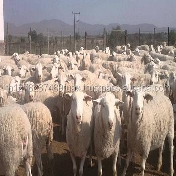 alive sheep