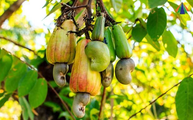 HIGH QUALITY CASHEW NUTS FOR GOOD PRICE AVAILABLE IN BULK QUANTITY IN KENYA