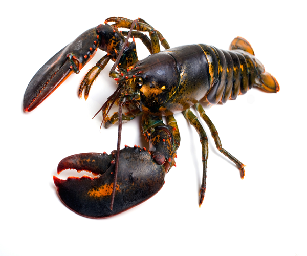 Certified Live Lobsters Fresh Chilled Lobster Frozen Lobsters Buy Live Canadian Lobster Live Canadian Lobster Live Canadian Lobster Product On Alibaba Com