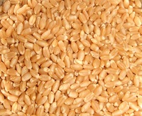 Grade A Durum Wheat for sale