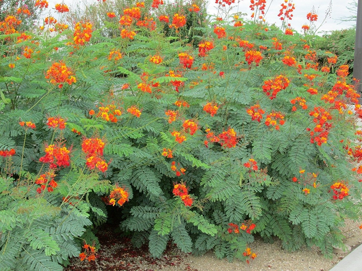 MEXICAN RED BIRD OF PARADISE PLANT 25 SEEDS