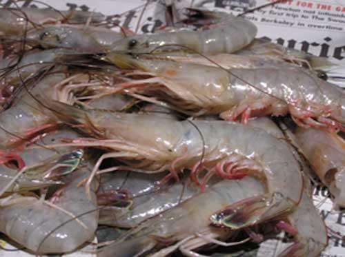 Frozen White Shrimps / Fresh Shrimps / Where to Buy Frozen Shrimps