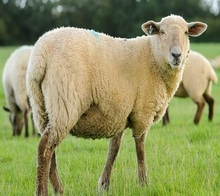 Live Awassi Sheep and Lambs, Other Live Sheep breed, Goats and Cattle For Sale