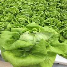 Leafy Green Vegetables Made In Vietnam, Salad Greens