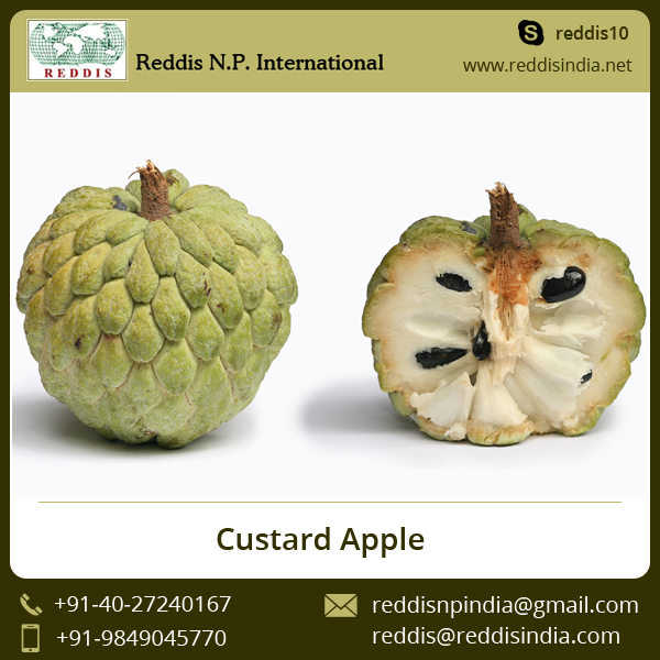 New Crop Fresh Custard Apple for Sale