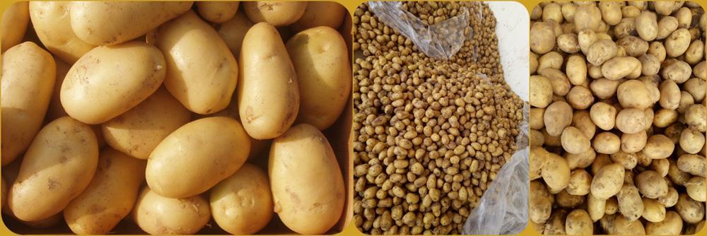 2017 new crop fresh potato