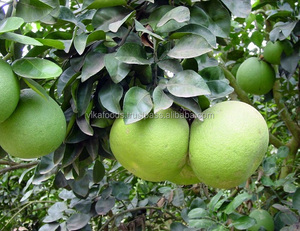 FRESH GRAPEFRUIT/ POMELO EXPORT STANDARD PRICE FOR SALE HIGH QUALITY WITH BEST PRICE FOR YOU