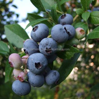 Blueberry Fruit Plants Seedlings From Nursery