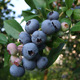 Blueberry Fruit Plants / Blueberry Seedlings / Fruit plants from nursery