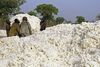 COTTON SEEDS West Africa quality and low price