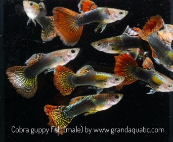 Cobra guppy for Freshwater Aquarium fish export company from Thailand