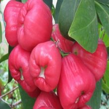 Hot Sale High Quality Rose Apple For Sales Exporter/Fresh Cheap Price Fuji Apples (in carton)
