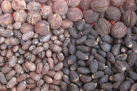 Sesame Seeds,Sunflower Seeds,Rapeseeds,Jatropha Seeds for sale