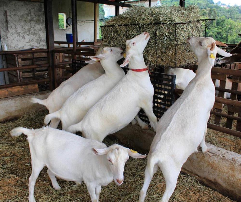 Healthy Livestock Saanen Dairy Goats