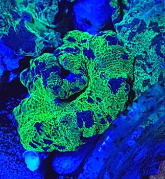 Vietnam Clam,Coral Reef Frag,Tropical Fish,Saltwater Fish For Sale - Buy  Vietnam Aquarium Clam For Sale Product on Alibaba com
