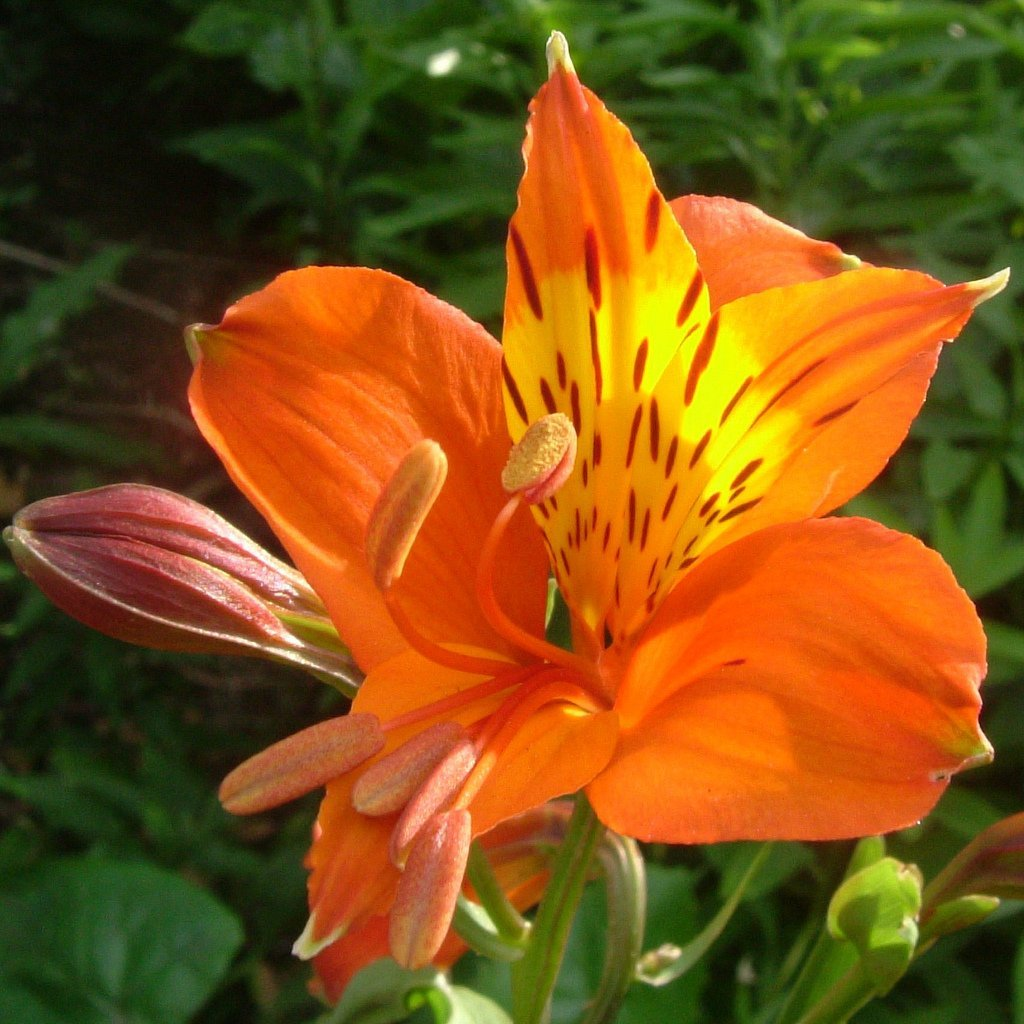 Buy Peruvian Lily Alstroemeria Aurantiaca Bulk 100 Seeds In Cheap Price On Alibaba Com