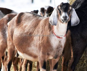 Nubian Goat, Nubian Goat Suppliers and Manufacturers at