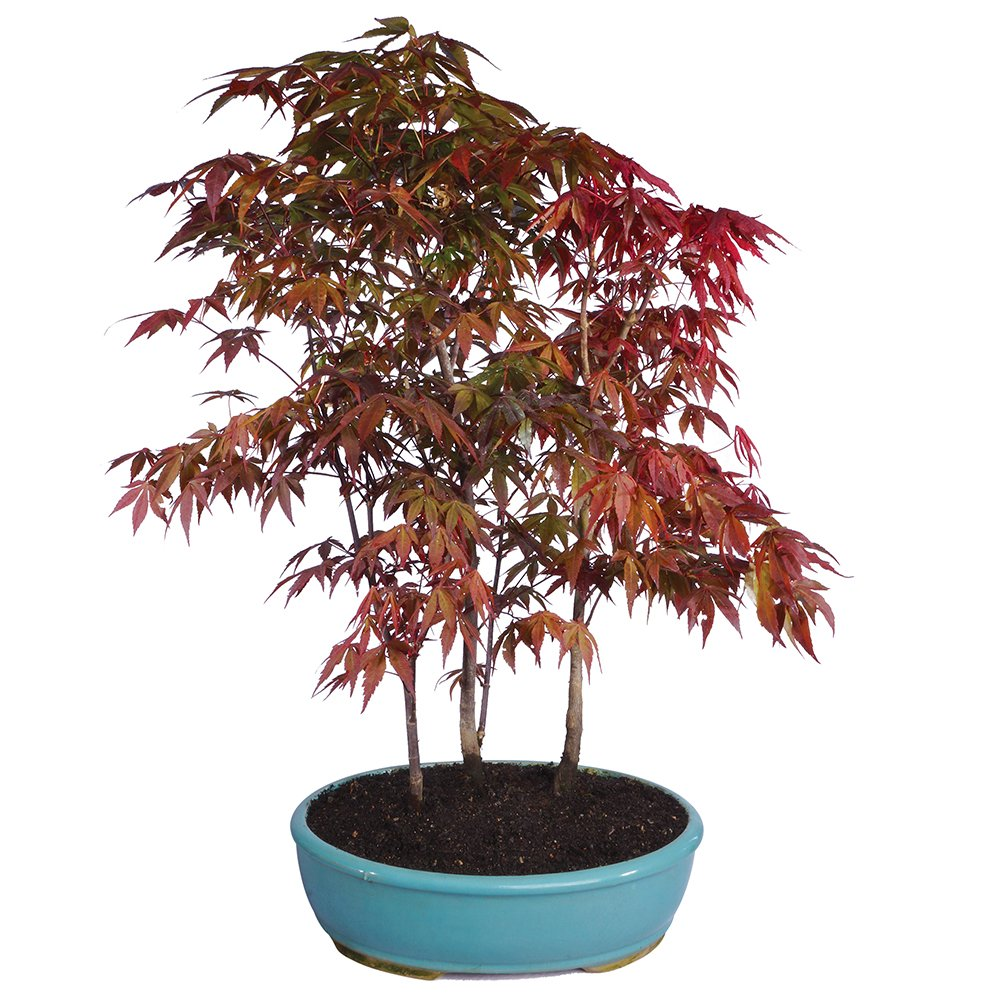 Buy Brussels Japanese Red Maple Grove Bonsai X Large Outdoor In Cheap Price On Alibaba Com
