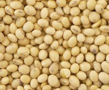 Soybeans /Soya Bean (8.0mm) with High Quality