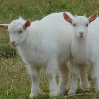 Available Live Saanen Goat For Sale! Good Quality - Buy Good Quality Live  Saanen Goats,Cheap Good Quality Saanen Goat,Saanen Goats Product on