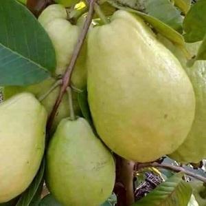 fresh Egyptian guava high quality (A)