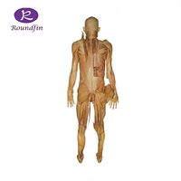 Medical teaching plastinated specimen silicone specimen plastination of human body