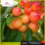 Spanish Rainer Mountain Cherry 2 Kg/Pack | Nino Jesus