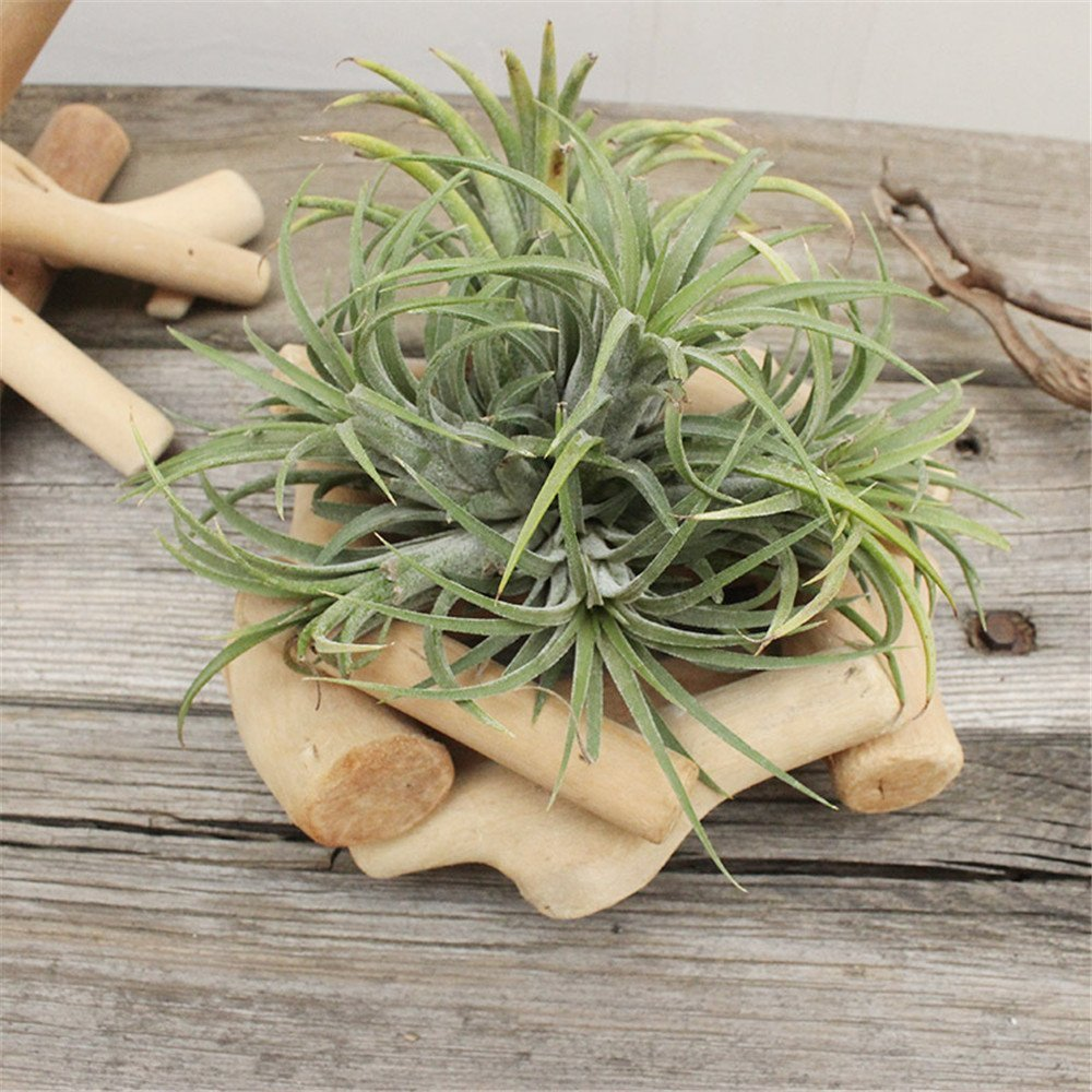 Danmu Wood Air Plant Pot Tillandsia Holder Planter Especially for Tillandsia (Plant is NOT Included)(Style 2)