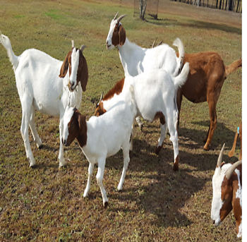 Pure Breed Live Boer Goats For Sale From Thailand and Full Blood  (registered), View boer goats for sale, Product Details from RESOURCES INT  LLC on