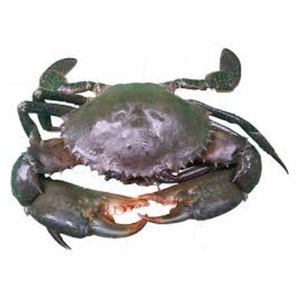 Highest Quality Seafood Mud Crab Farming For Sale With Dtreet Quality